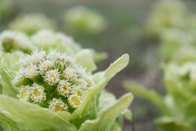 Health Benefits of Butterbur Are Sure to Butter You Up