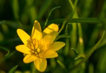 Lesser Celandine Has the Ability to Promote Healthy Skin