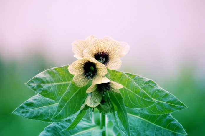 This Poisonous Herb Is Beneficial For Our Health