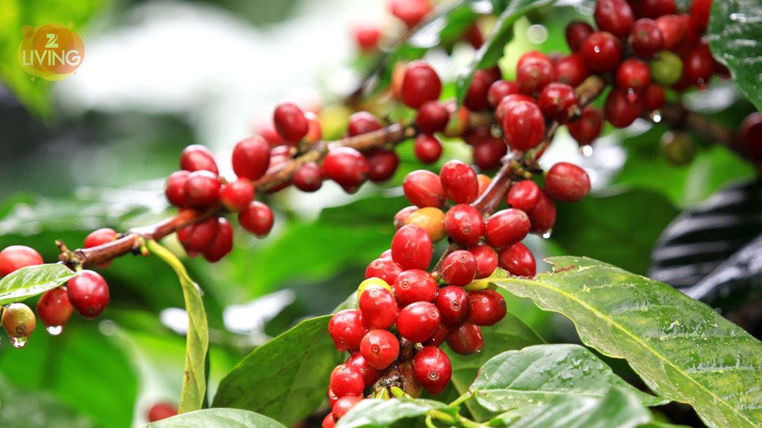 health-benefits-of-coffee-fruit