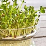 alfalfa for a healthy heart