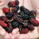 mulberries to prevent cancer