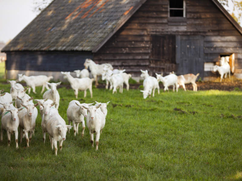 white goats in front of a barn on a farm