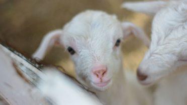 white baby goat smiling at camera