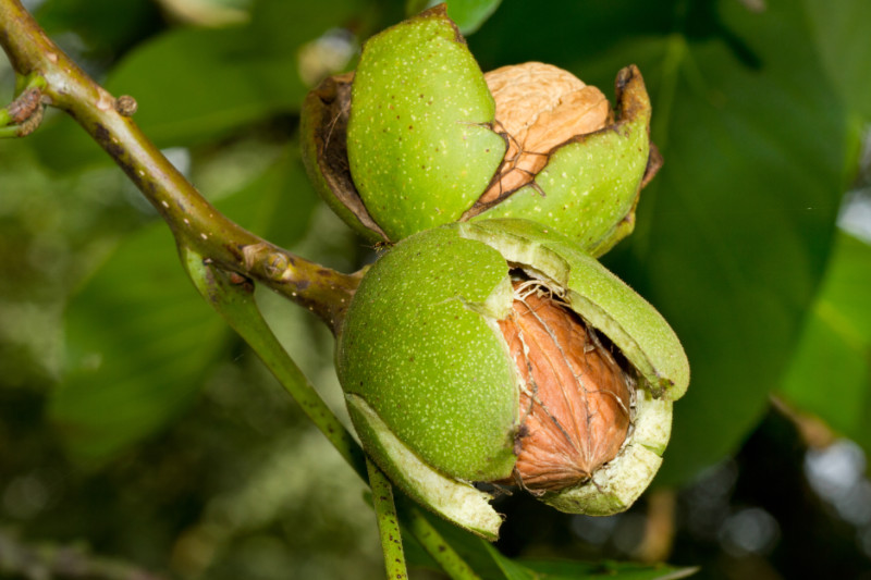 English Walnut: The Kernel That Supports Mental Health