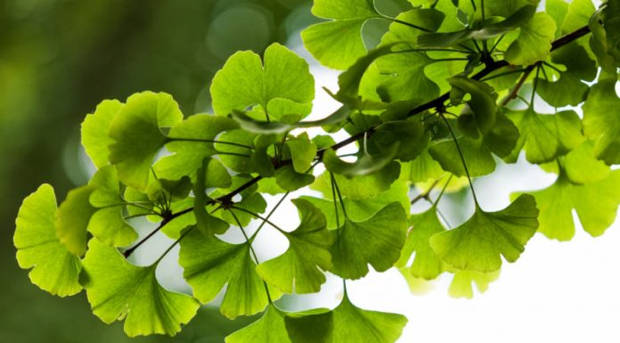Ginkgo Biloba: The Medicinal Plant That Promotes Brain Health