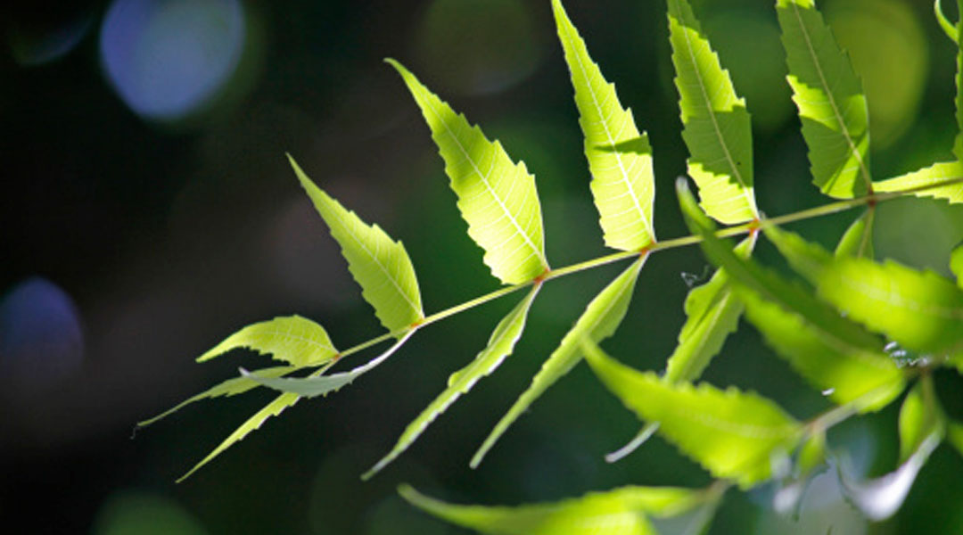 The Amazing Benefits Of Neem – A Natural Blood Purifier - Z