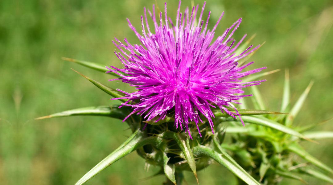 Milk-Thistle-Liver's-Best-Friend