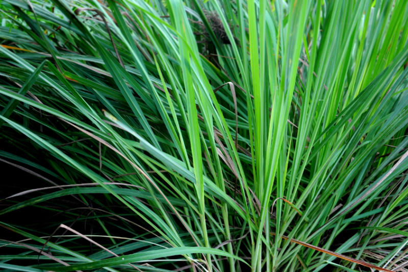 Reduce Inflammation With the Benefits of Lemongrass
