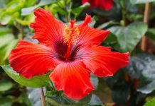 Why You Should Use Hibiscus to Help With Blood Pressure Management