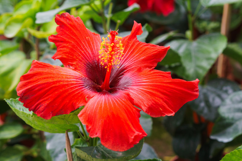Hibiscus Hibiscus Rosa Sinensis Health Benefits And Side Effects