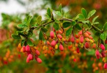 Cleanse You Liver and Boost Heart Health With the Benefits of Indian Barberry