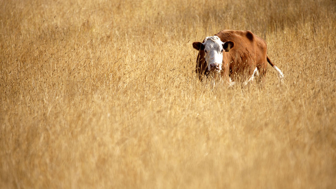 Grass-fed-beef-cow-in-pasture_137366411
