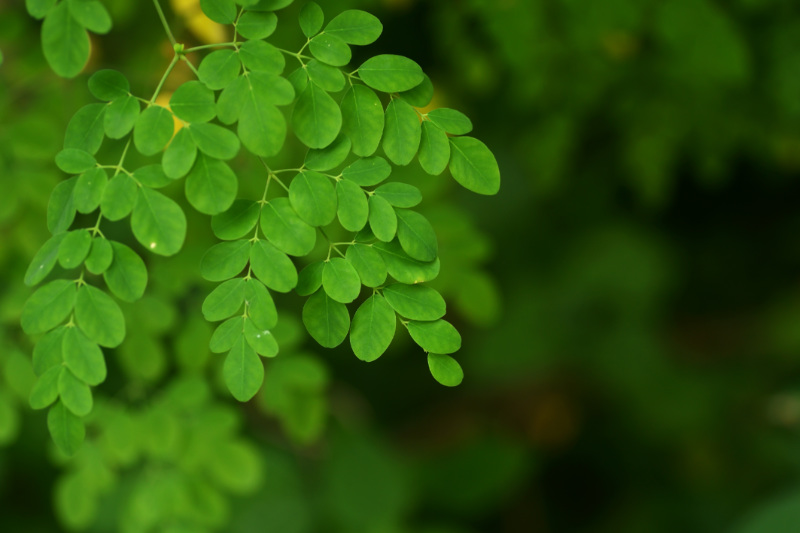 Moringa oleifera: The Miracle Tree That Can Improve Your Overall Health