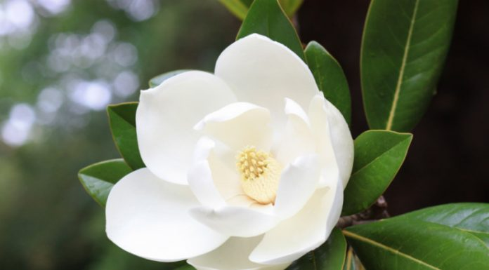 Can Magnolia Be the Answer to Your Digestive Woes?