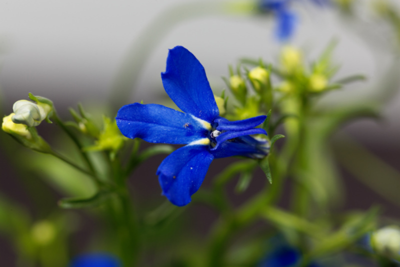 Lobelia Lobelia Cardinalis Health Benefits And Side Effects Z