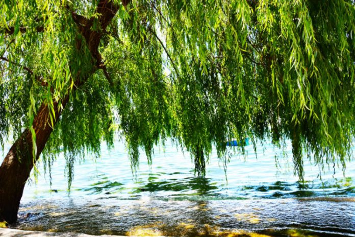 White Willow | Nature's Herbal Pain Reliever