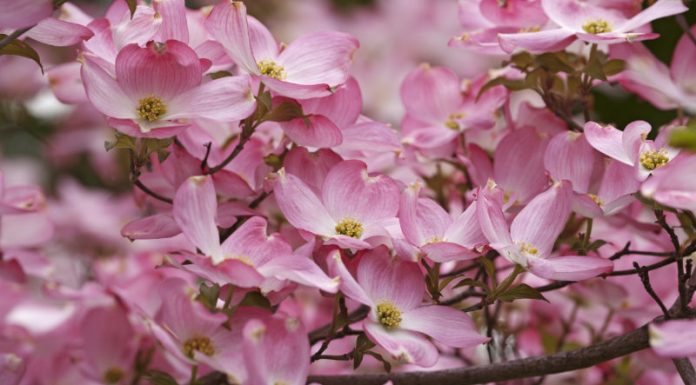 Can Dogwood Be the Answer to All Your Minor Ailments?
