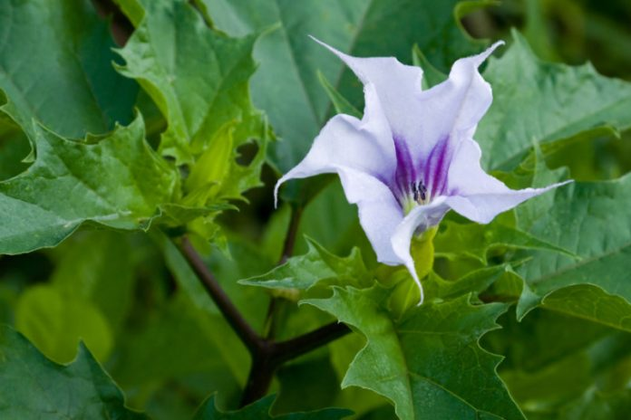 Can This Poisonous Plant Improve Your Health?