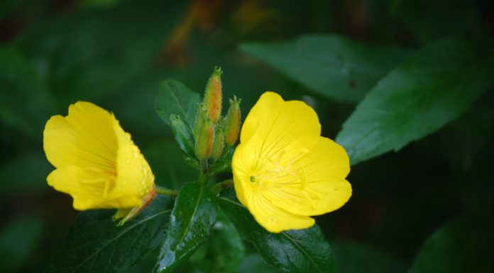 Could Evening Primrose Be Your Natural Cure-all?