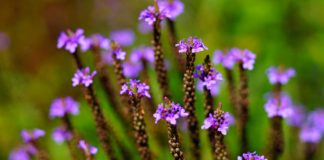 Discover the Mystical Powers of the Vervain Plant