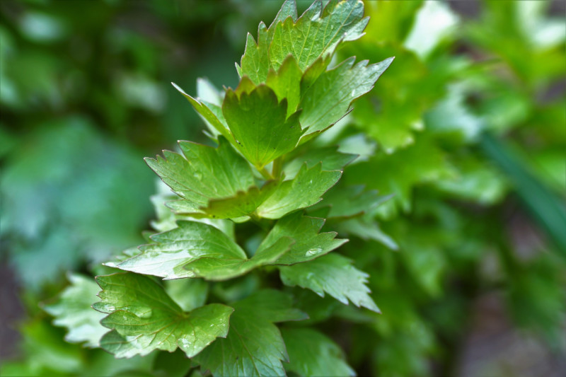 Fall in Love With the Benefits of Lovage