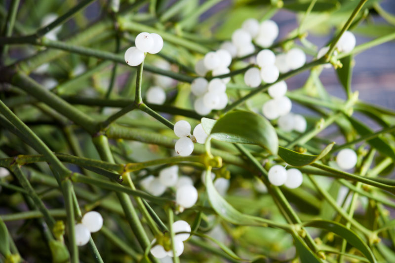 The Benefits of Mistletoe Will Make You Wanna Kiss You Ailments Goodbye