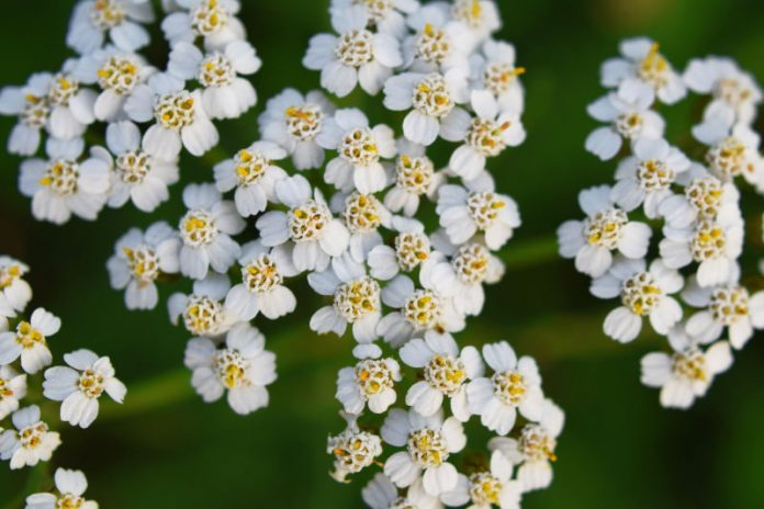 Treat Inflammation and Heal Your Wounds With the Benefits of Yarrow