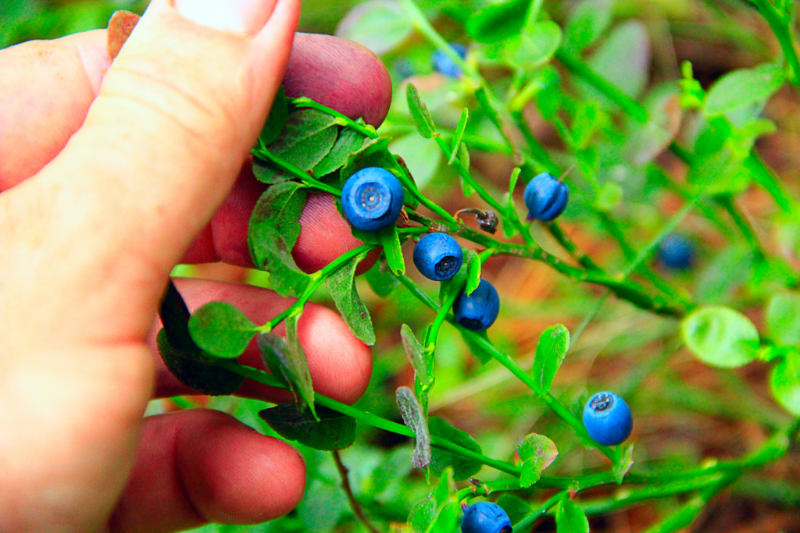 Blueberry's Twin Sister Proposes Can Improve Eye Health and Reduce Inflammation