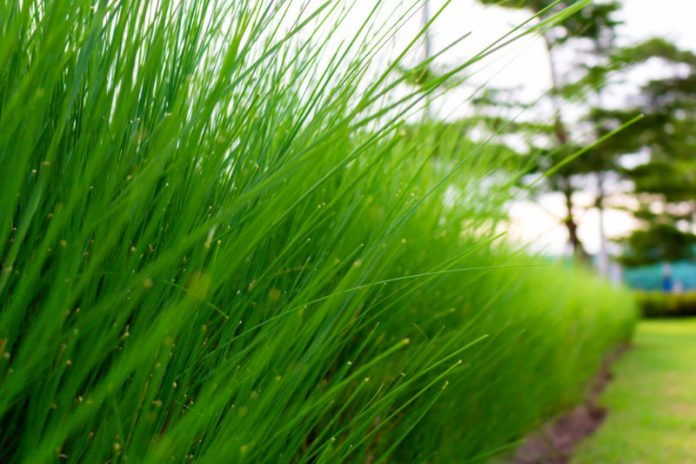 Get Lost In The Benefits of Bermuda Grass