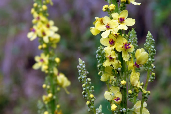 Struggling With Inflammation? Mullein Is the Herb for You