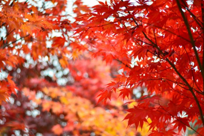 The Benefits of the Red Maple Tree Are Sweet for Your Health