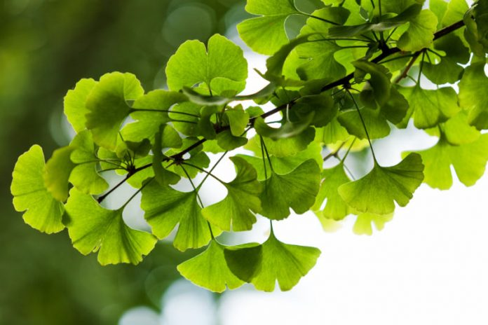 Ginkgo Biloba: The Medicinal Plant That Promotes Brain Health