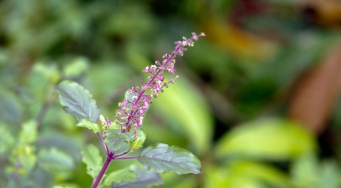 Tulsi: The Ancient Superherb That Reduces Stress