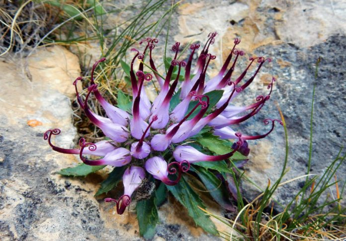 The Benefits of Devil's Claw Could Be A Blessing For Pain Relief