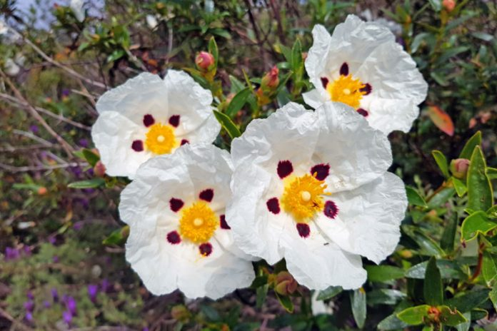 Cistus Oil | Fight Signs of Aging and Give Your Skin a Healthy Glow